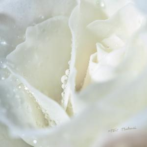 rosa blanca con gotas de rocio - Detalle de una rosa blanca con gotas de rocío en un ramo de flores de novia. Fotografía de un reportaje comercial para la web del artista floral de Art Natural Floritería de Valencia.